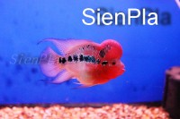 FlowerHorn SienPLa Group