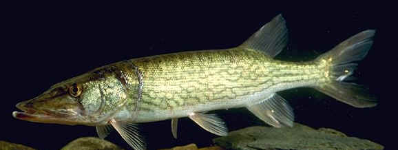 Chain pikerel