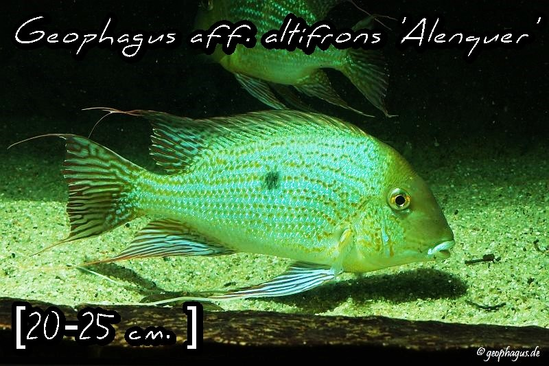 Geophagus altifrons 'Alenguer'