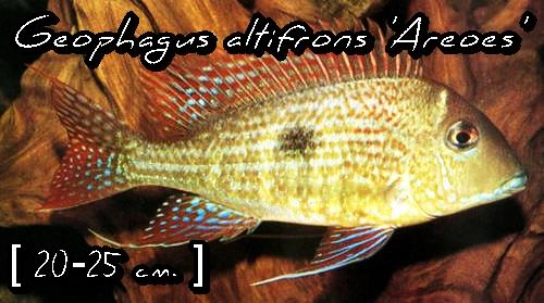 Geophagus altifrons 'Areoes'
