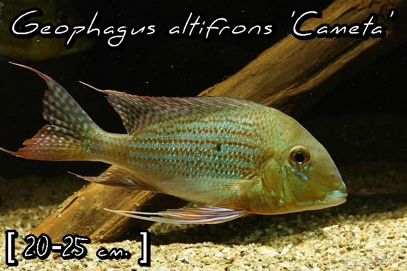 Geophagus altifrons 'Cameta'
