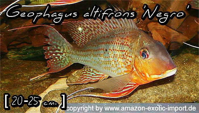 Geophagus altifrons 'Negro'