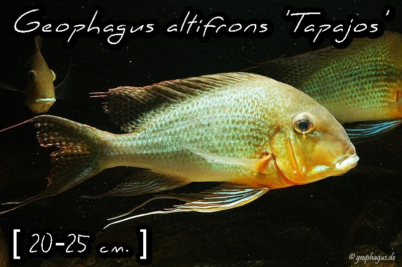 Geophagus altifrons 'Tapajos'