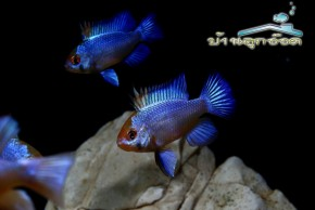 ปลาแรมบลู Mikrogeophagus Ramirezi Electric Blue sp.