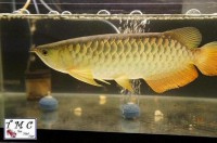 Electric Blue Cross Back Arowana