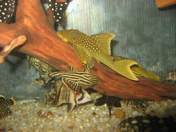 golden hi-fin