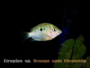 Etroplus sp. Orange spot Chromide